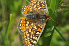 Marsh Fritillary Butterfly Stock Photo