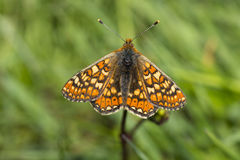 Marsh Fritillary Butterfly Royalty Free Stock Photos