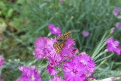 Marsh fritillary sitting on the Dianthus chinensis purple flower. Royalty Free Stock Images