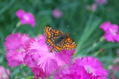 Marsh fritillary sitting on the Dianthus chinensis purple flower. Stock Images