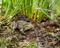 Marsh Frog Stock Photos