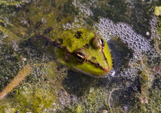 Marsh Frog Royalty Free Stock Photo