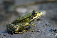 The marsh frog Royalty Free Stock Image