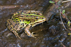Marsh frog Royalty Free Stock Photos