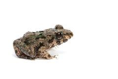 Marsh Frog Image libre de droits