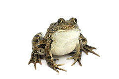 Marsh frog with brown spots Royalty Free Stock Photos