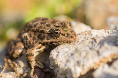 Marsh Frog close-up Stock Images