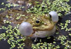 A Marsh Frog Croaking. A Marsh Frog Rana Ridibunda croaking by inflating it`s vocal sacs. Non-native to the UK having been introduced into Kent in the 1930`s stock images