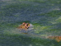Marsh Frog and frog spawn Royalty Free Stock Photo