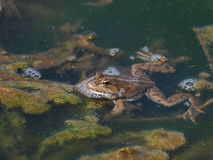Marsh Frog and frog spawn Royalty Free Stock Images