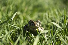 Marsh Frog in the grass royalty free stock photography