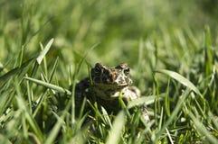 Marsh Frog i gräset royaltyfri fotografi