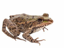 Marsh Frog isolated on white Stock Image