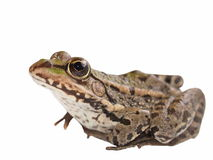 Marsh Frog isolated on white Stock Photo