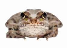 Marsh Frog isolated on white Royalty Free Stock Photography