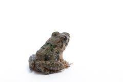 Marsh Frog isolou-se no fundo branco Fotos de Stock