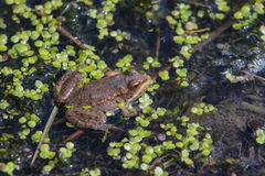 Marsh Frog Stock Photography