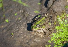 Marsh frog on the lake Stock Photography
