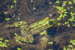 Marsh frog on the lake Stock Image