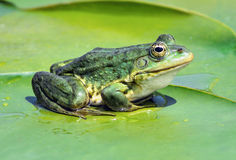 Marsh frog on the lake Royalty Free Stock Photo
