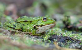 Marsh frog sits on a green shore of lake stock photo