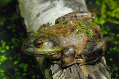 Marsh Frog on a log Stock Images