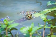 Marsh frog Stock Image