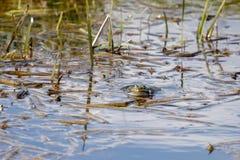 Marsh Frog på Rainham träsk fotografering för bildbyråer