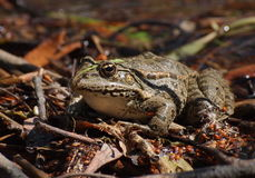 Marsh Frog, Pelophylax ridibundus Stock Images