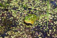 Marsh Frog (Pelophylax ridibundus) Royalty Free Stock Image
