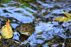 Marsh frog / Pelophylax ridibundus with autumn foliage Royalty Free Stock Image