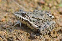 Marsh Frog, Pelophylax ridibundus Stock Photos