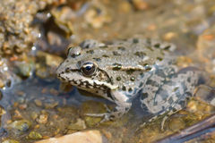 Marsh Frog, Pelophylax ridibundus Stock Image