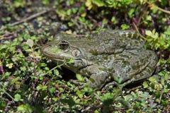 Marsh Frog (Pelophylax Ridibundus) Stock Photos