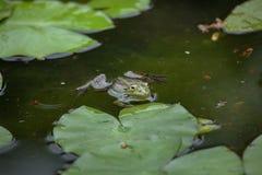 Marsh frog Pelophylax ridibundus Royalty Free Stock Image