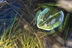 Marsh frog in pond full of weeds. Green frog Pelophylax esculentus sitting in water royalty free stock photos