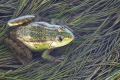 Marsh frog in pond full of weeds. Green frog Pelophylax esculentus sitting in water royalty free stock photo