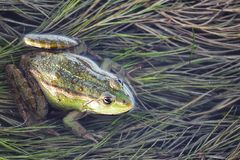 Marsh frog in pond full of weeds. Green frog Pelophylax esculentus sitting in water. Closeup royalty free stock image