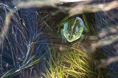 Marsh frog in pond full of weeds. Green frog Pelophylax esculentus sitting in water stock photo
