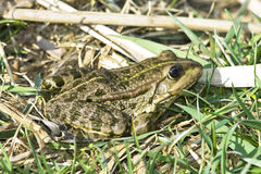 Marsh frog (Rana Ridibunda) Stock Photography