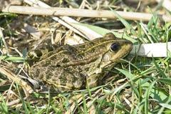 Marsh frog (Rana Ridibunda). On the reed Stock Photography