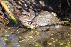Marsh Frog (Rana ridibunda) Royalty Free Stock Images