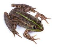 Marsh Frog, Rana ridibunda Royalty Free Stock Photos