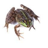 Marsh Frog, Rana ridibunda Royalty Free Stock Photos