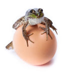Marsh Frog, Rana ridibunda Royalty Free Stock Images