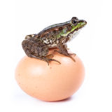 Marsh Frog, Rana ridibunda. Marsh Frog (Rana ridibunda) in front of white background, isolated stock photo