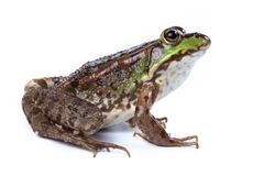 Marsh Frog, Rana ridibunda. Marsh Frog (Rana ridibunda) in front of white background, isolated royalty free stock image