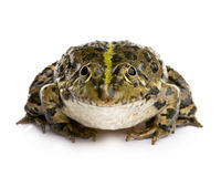 Marsh Frog - Rana ridibunda Royalty Free Stock Image