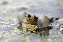 Marsh frog, Rana ridibunda Royalty Free Stock Photo