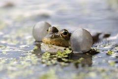 Marsh frog, Rana ridibunda Royalty Free Stock Photo
